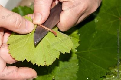 отрезаем черешки у виноградных листьев